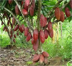 Buscan promocionar el crecimiento económico asociado a la producción de Cacao.
