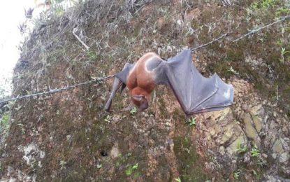 Foto de gran murciélago pescador genera curiosidad en Miches y El Seibo