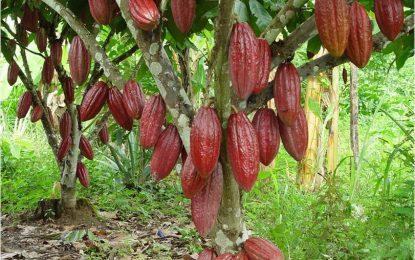 Productores de cacao exigen una planta procesadora en El Seibo