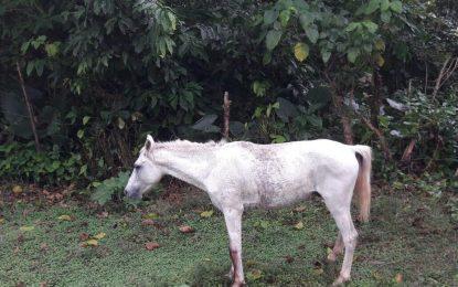 Sacrifican caballo infectado de tétanos