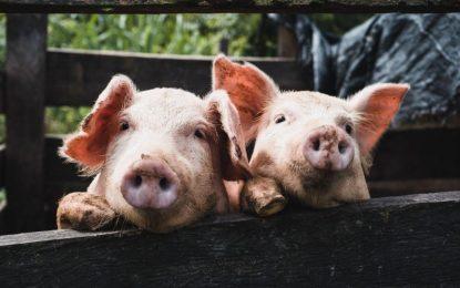 Mortandad de cerdos genera preocupación en El Seibo