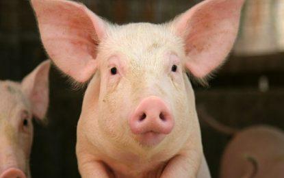Salud Pública anuncia que El Seibo aún no tiene casos de peste porcina africana